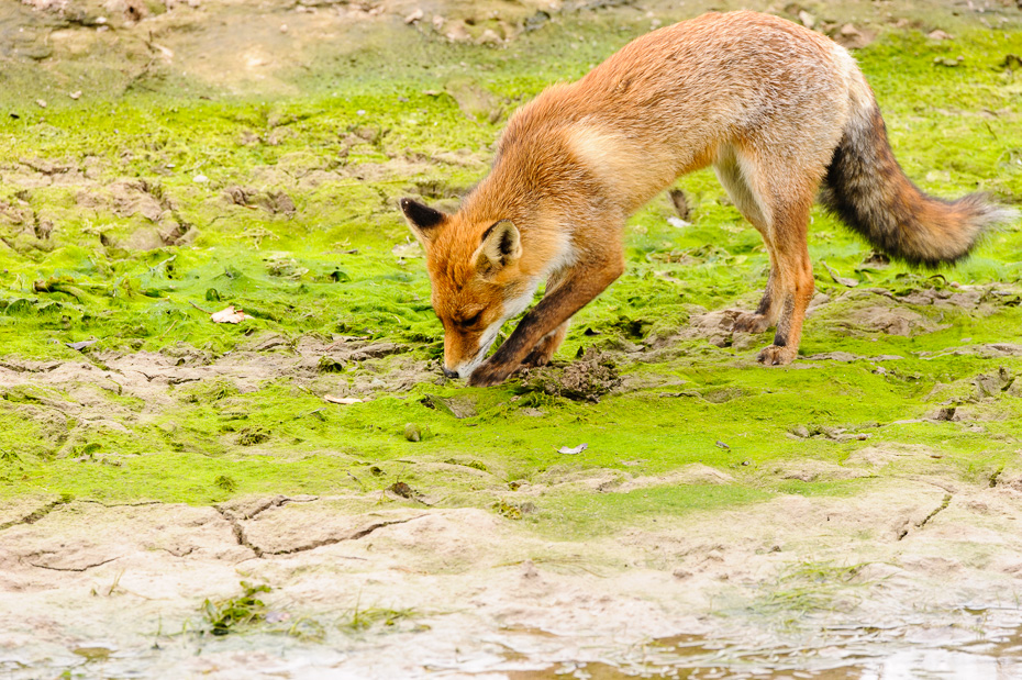 Vos Vulpes Vulpes Red fox