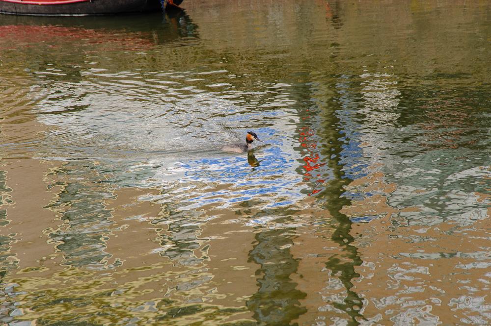 fuut in weerspiegeling op het water