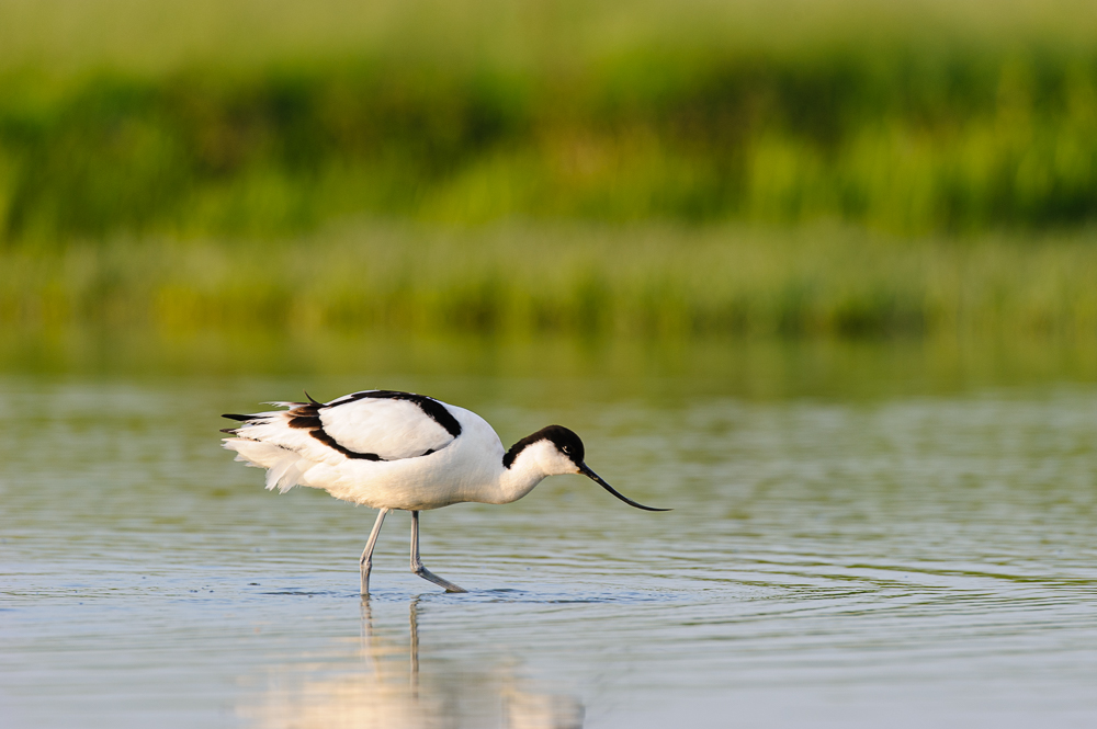 kluut Recurvirostra avosetta