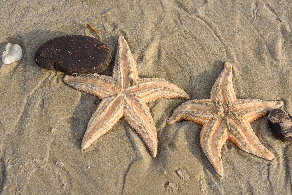 zeesterren op strand hargen aan zee