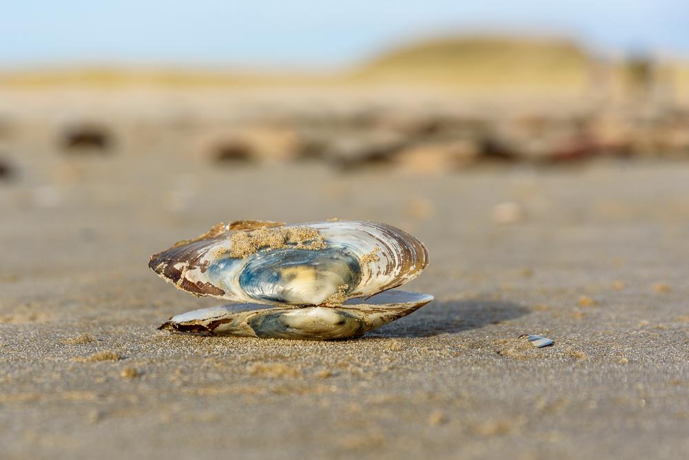 schelp op strand hargen aan zee