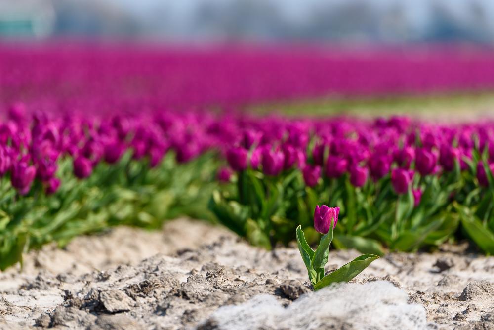 bloeiende bloembollen
