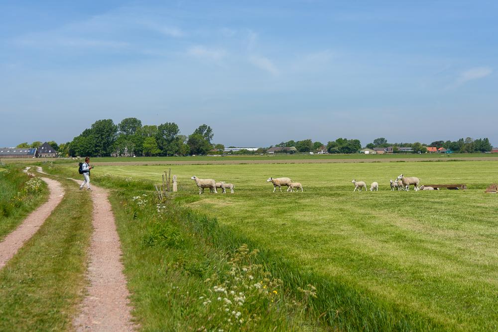 schapen in het kaalgeschoren weiland