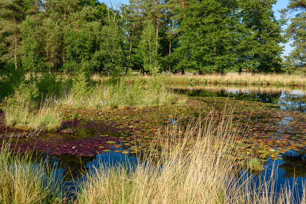waterlelies in dwingelderveld