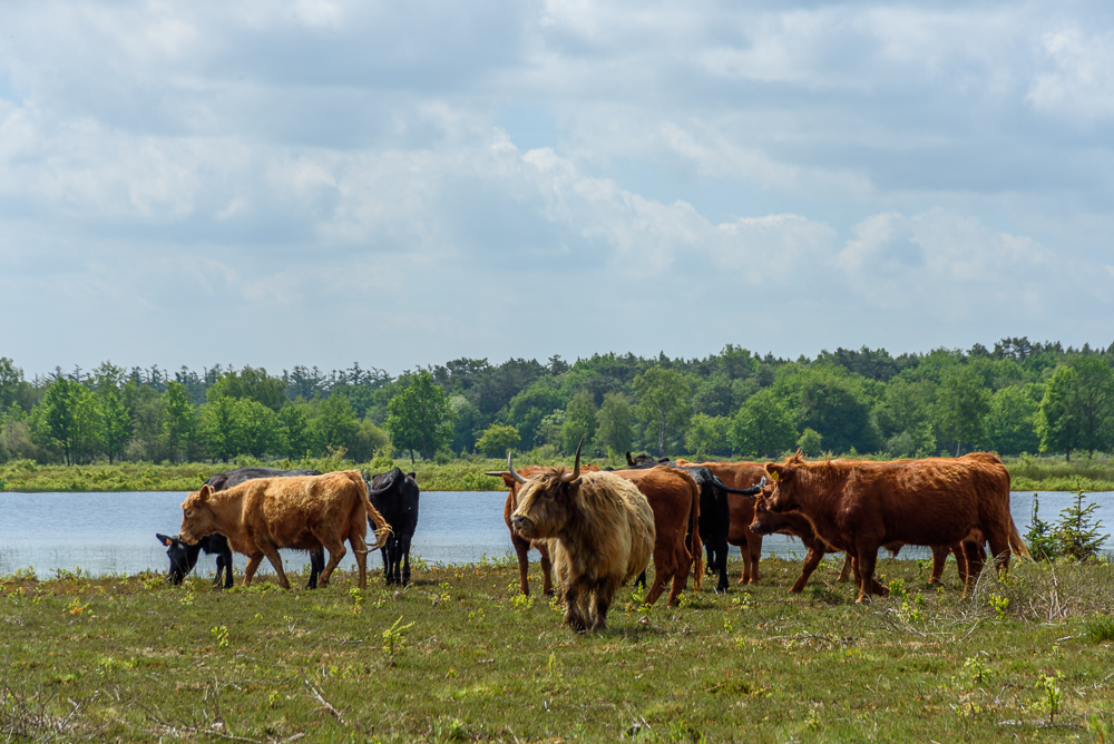 schotse hooglanders in het drents friese wold