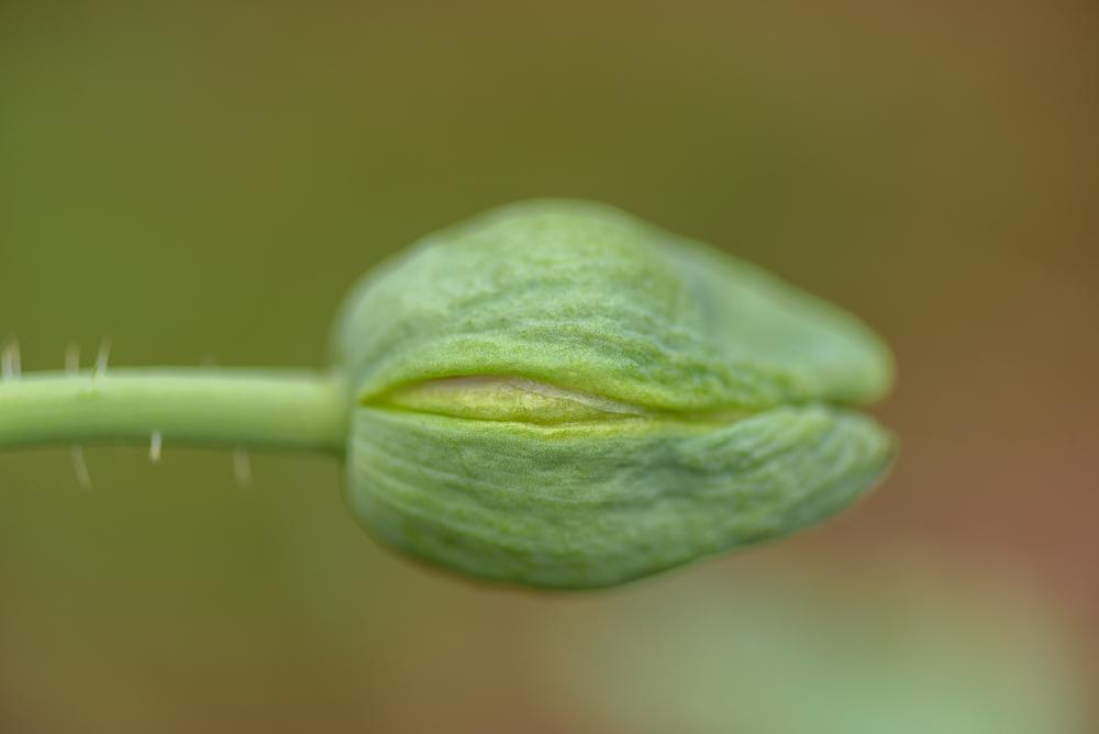 papaver somniferum - bolpapaver of slaapbol