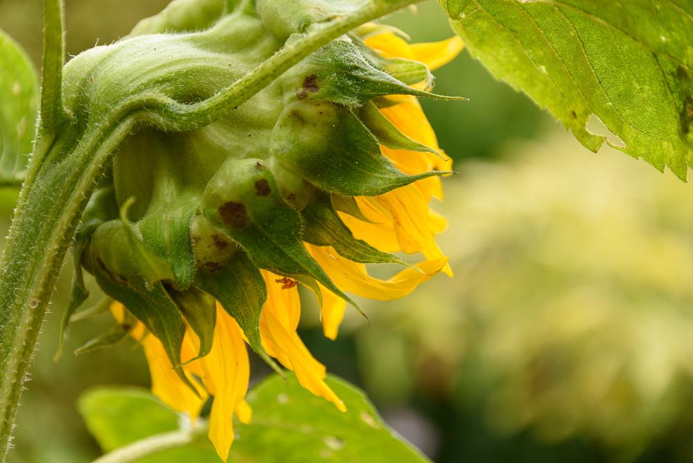 Helianthus annuus zonnebloem met hangende kop