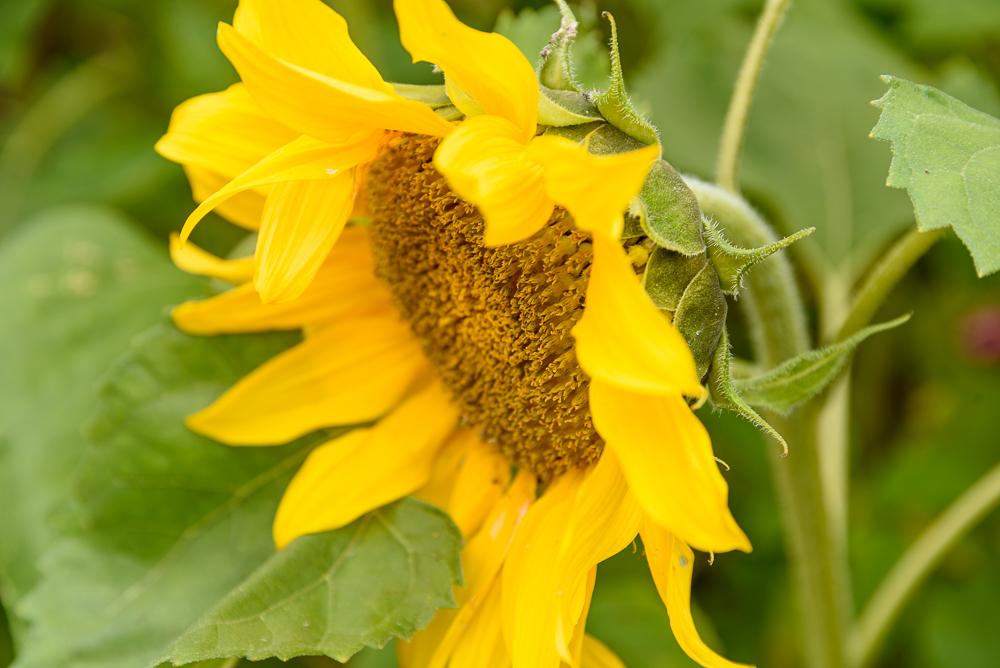 Helianthus annuus zonnebloem