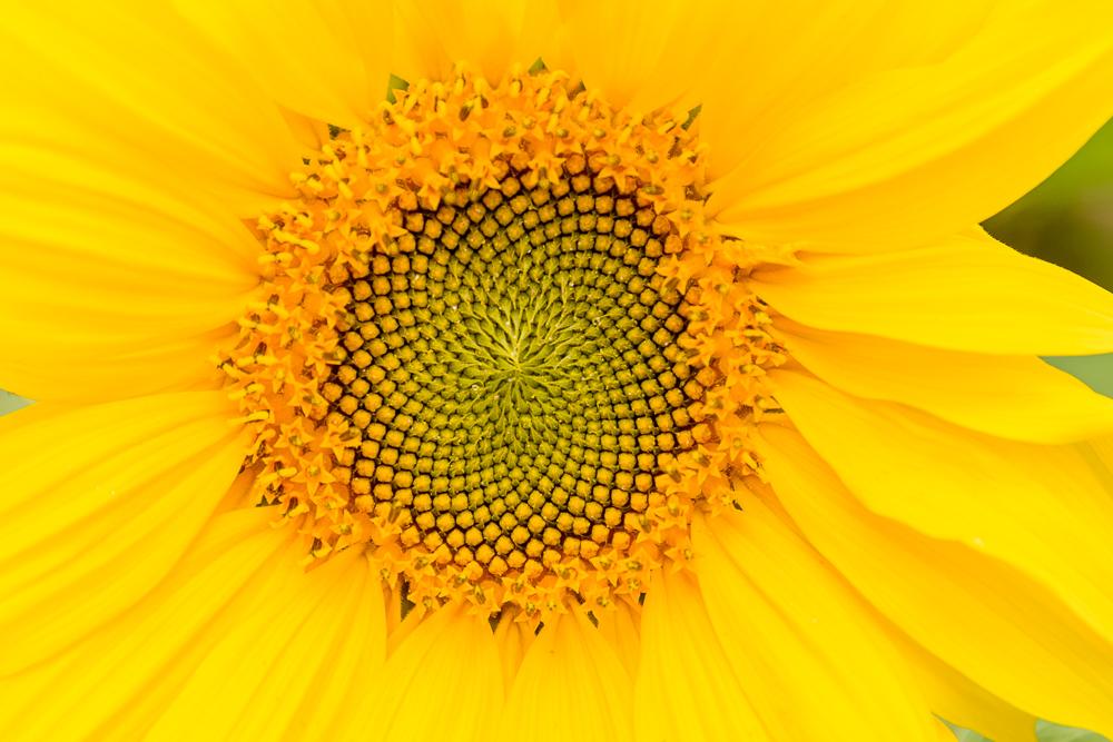 zonnebloem met fibonacci reeks zichtbaar