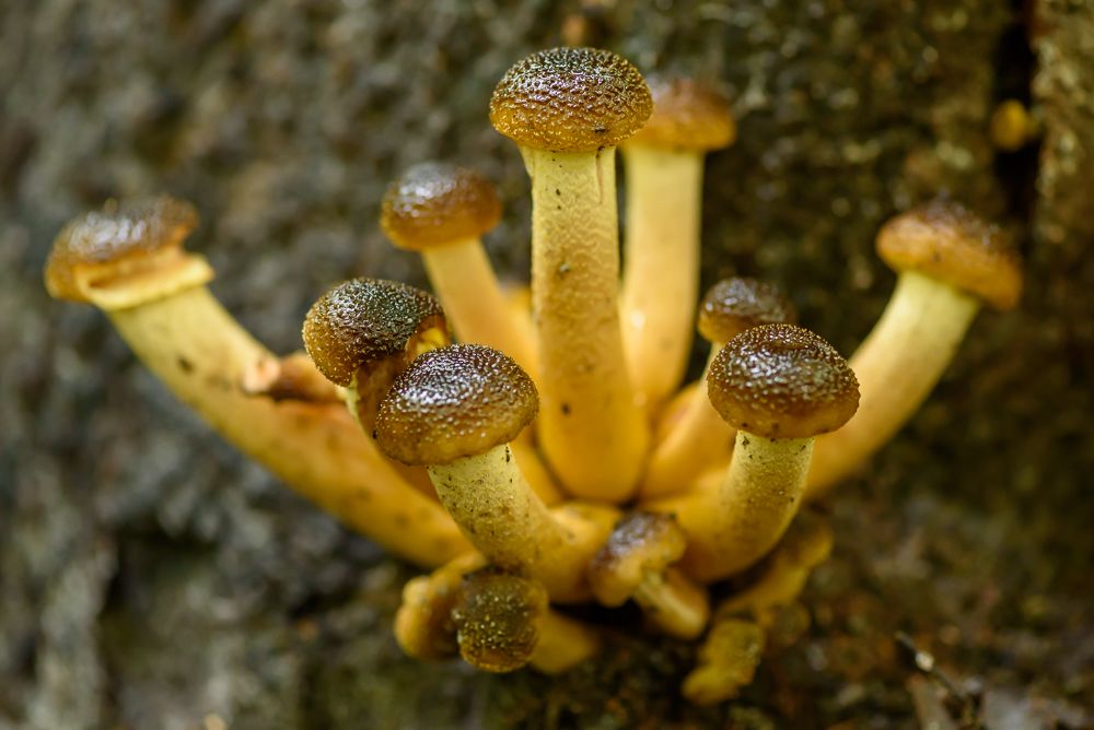 echte honingzwam (Armillaria mellea)