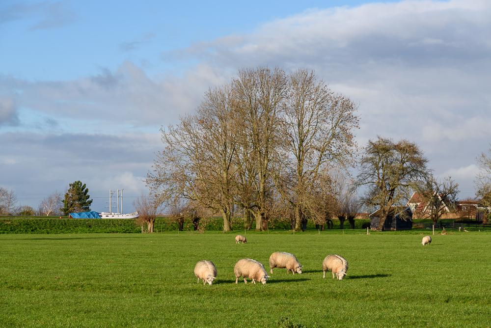 schapen en bomen