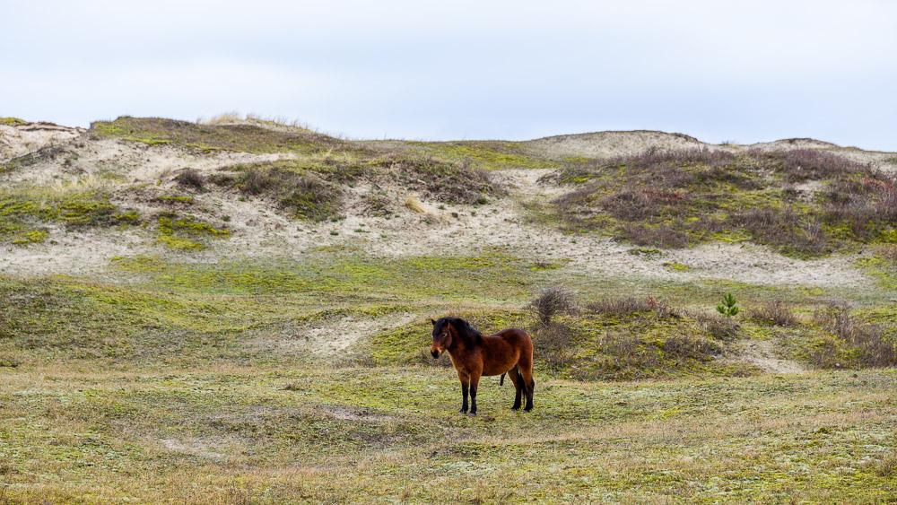 Exmoor pony in duinen van Bergen