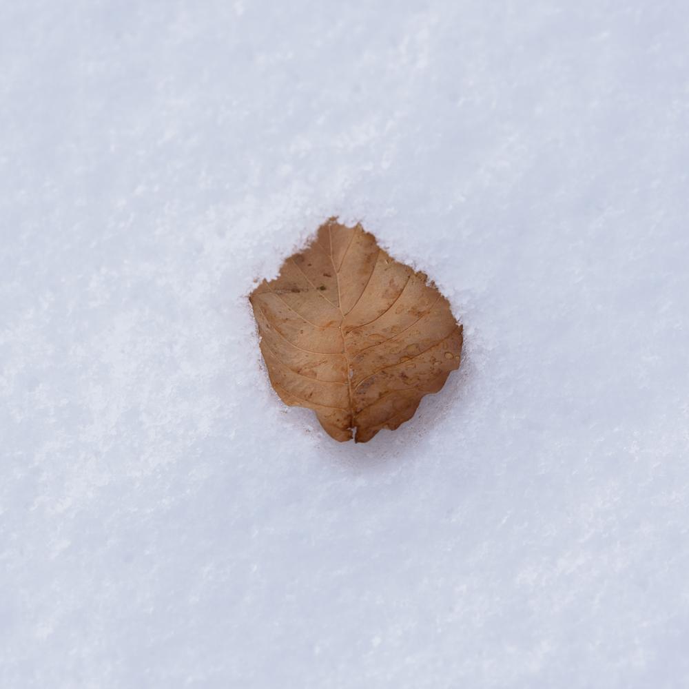 beukenblad in de sneeuw