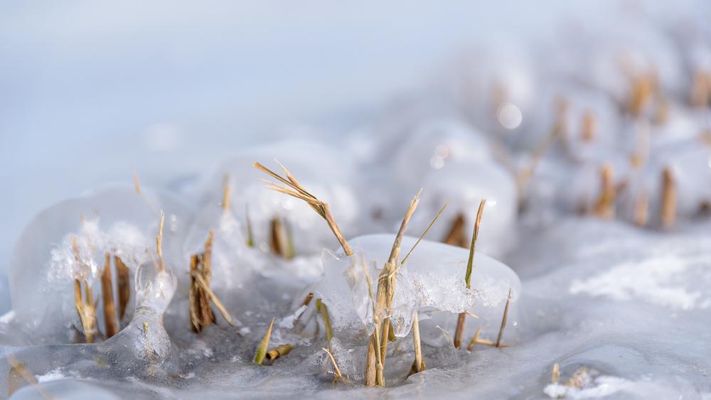 rietstoppels op het ijs