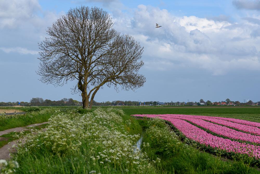 tulpen en fluitenkruid langs kwakelpad