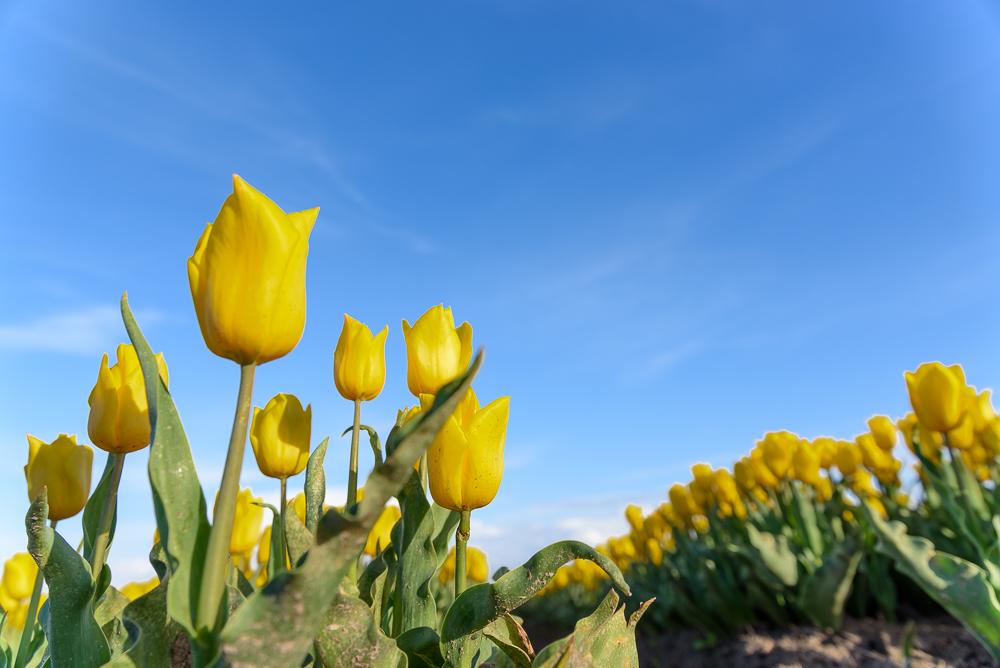 gele tulp tegen blauwe lucht