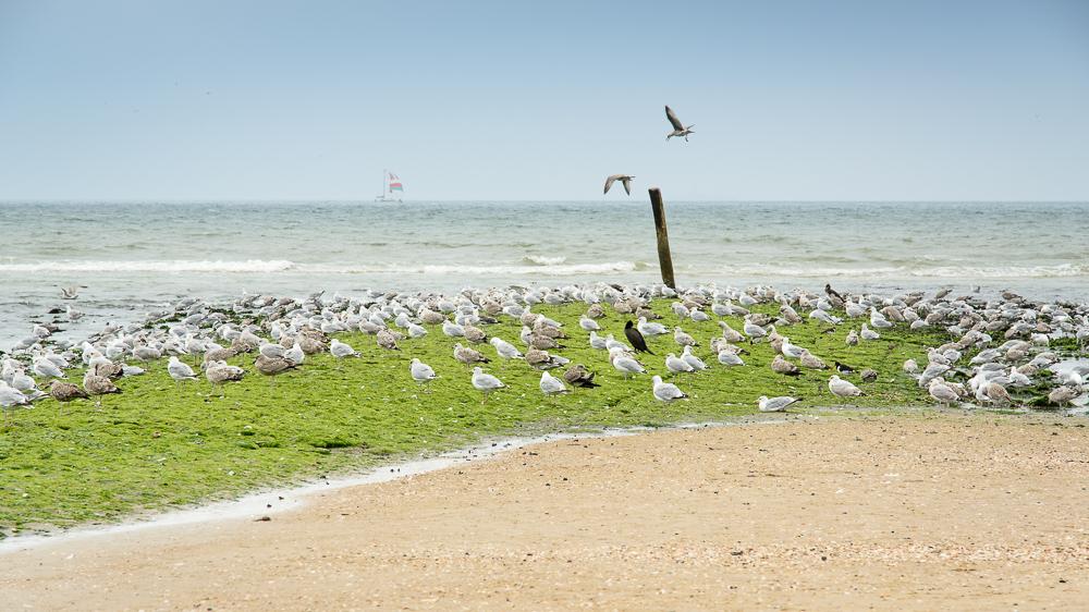 strekdam met vogels